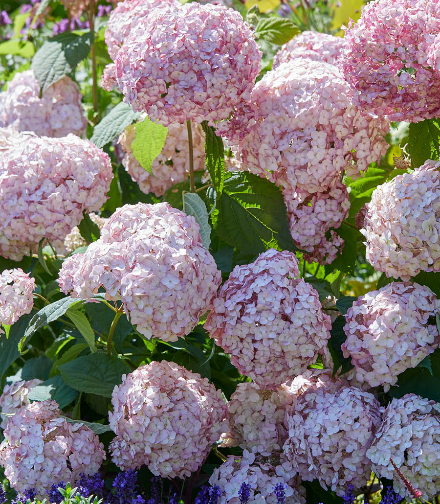 Garten-Hortensien